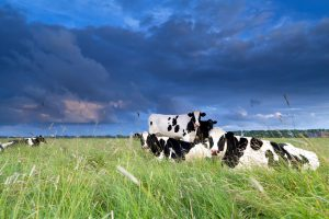 cows relaxed on pasture over clouded sky